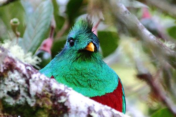 ציפור הקצאל