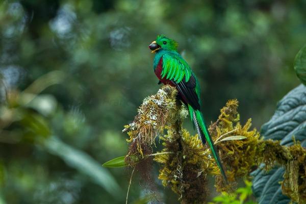 הקצאל, הציפור הלאומית של גואטמלה