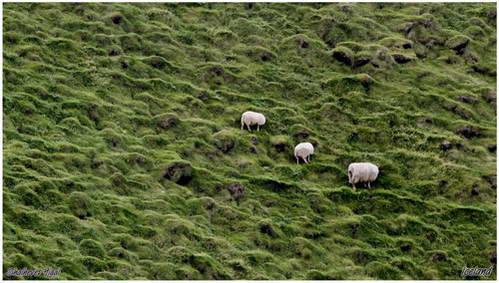 כבשים רועות על המדרונות הירוקים של איסלנד