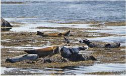 כלבי ים, איסלנד