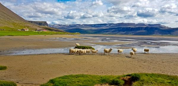 מראה טיפוסי של כבשים על חוף איסלנדי