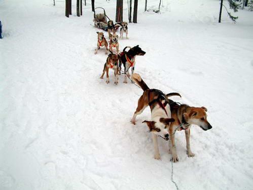 מזחלות שלג בלפלנד