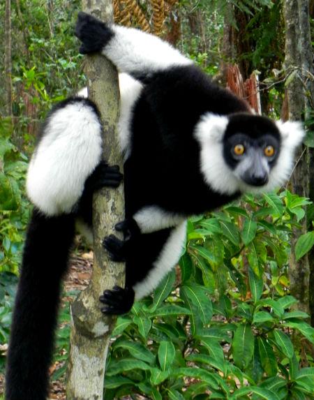 אינדרי אינדרי מדגסקר
