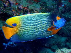 האיים המלדיביים, דגי לוטיין צהובים