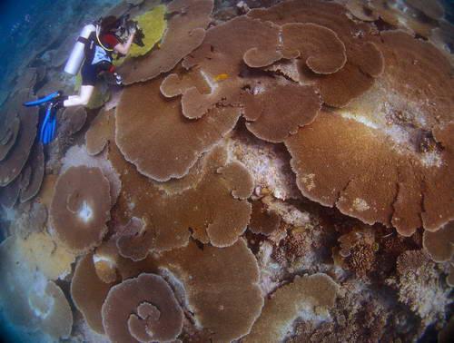 האיים המלדיביים, אלמוגי שולחן גדולים