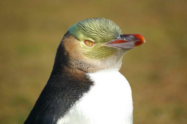 פינגווין צהוב עין, ניו-זילנד
