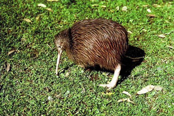 עוף הקיווי, הסמל הלאומי של ניו זילנד