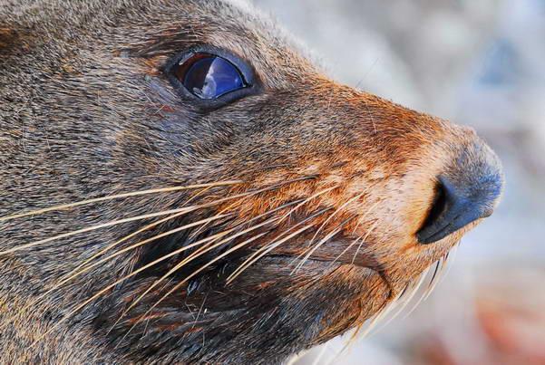 קאיקורה, האי הדרומי, כלב ים