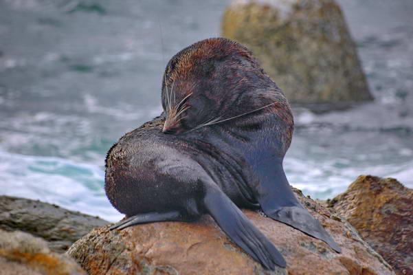 כלב ים, חופי האי הדרומי של ניו זילנד