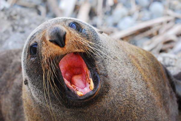 האי הדרומי של ניו זילנד, כלבי ים