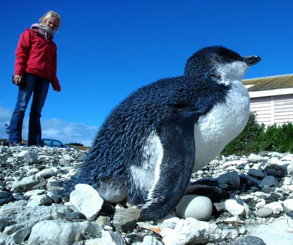 חיות נדירות על חוף קאיקורה, ניו-זילנד