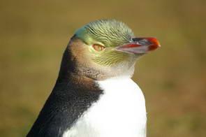 פינגווין צהוב עין, ניו זילנד