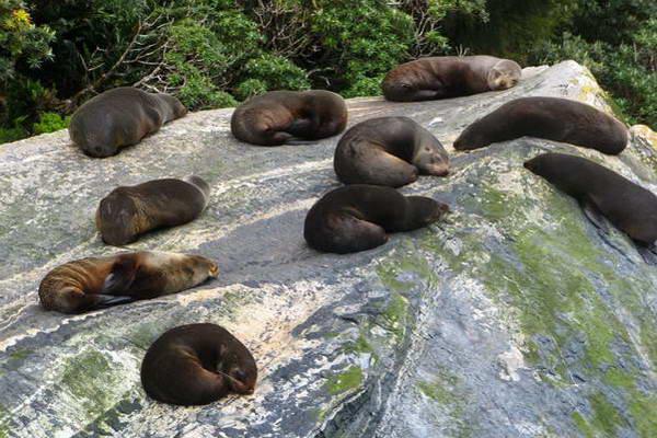 כלבי ים, ניו זילנד