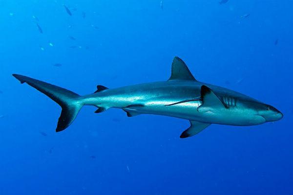 כרישים בפלאו