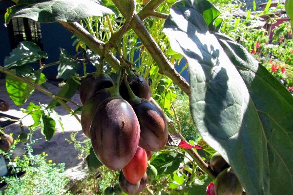 עגבניות בפרו