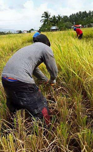 קציר שדות האורז, הפיליפינים