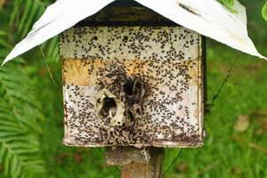 חוות הדבורים, מחוז ביקול, הפיליפינים