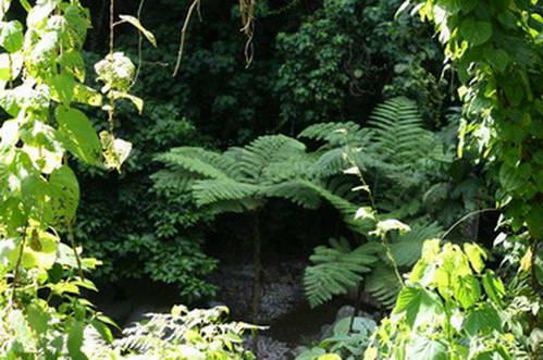 נוף יער גשם טרופי במעלה הר הגעש היבּוֹק היבּוֹק