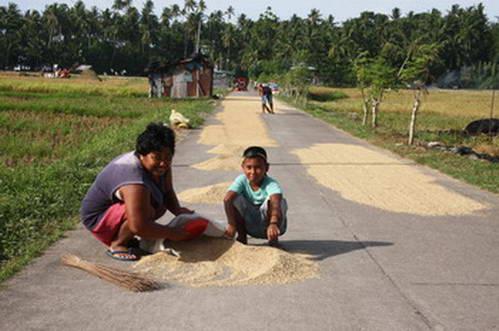 ייבוש אורז על הכביש