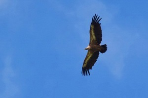 נשרים בשמורת אובאץ, מערב סרביה