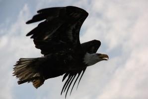 עופות דורסים בסלובניה