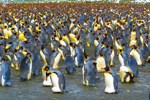 הפלגה לג'ורג'יה הדרומית, פינגווין מלכותי