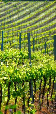 יין בחבל ארגון