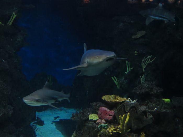 כרישים באקווריום של ברצלונה