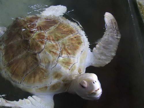 סרי לנקה, צבי ים