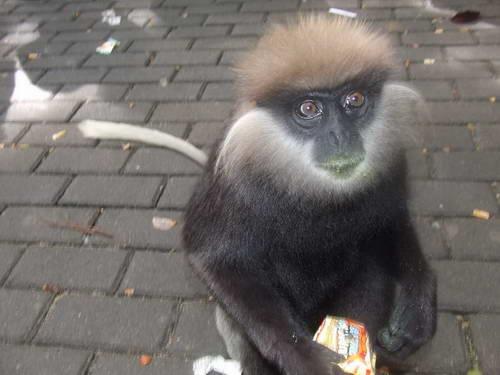 סרי לנקה, קופים