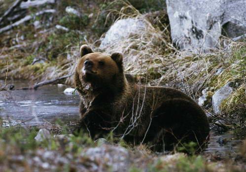 אייל הצפון ודוב, מבעלי החיים האופיניים לשבדיה