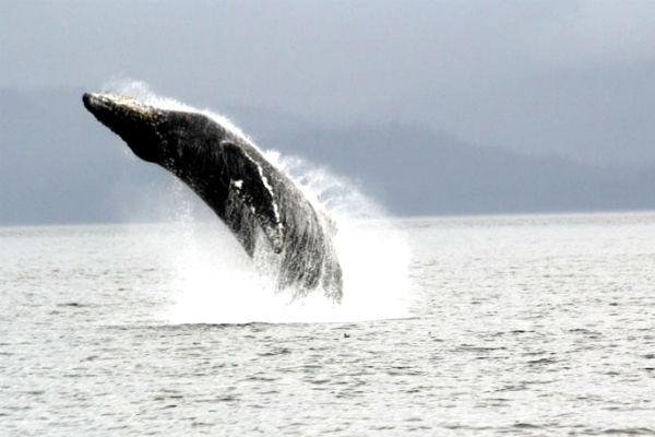 צפייה בלווייתנים באלסקה
