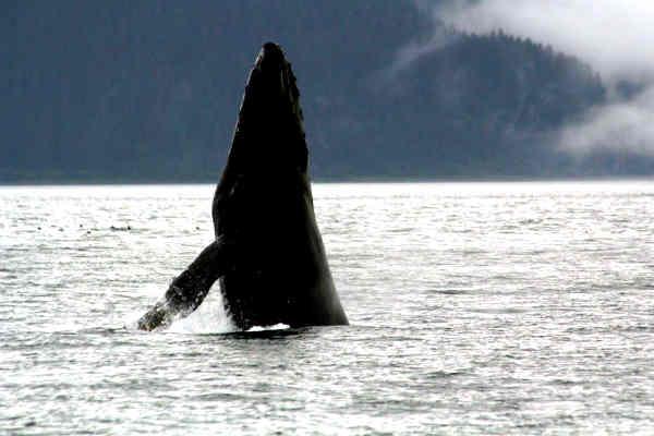 לווייתן באלסקה