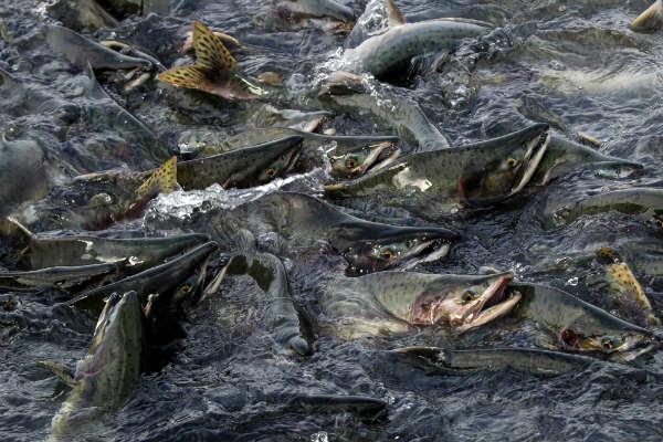 דגי סלמון במעלה הנהר