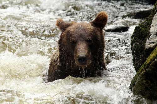 דרום מזרח אלסקה, דב חום