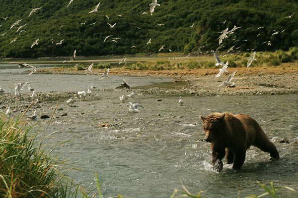 אלסקה, דובים בשמורת קטמאי