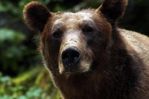 הדובים החומים של אלסקה