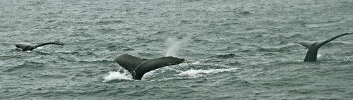 אלסקה, שמורת קינאי פיורדס, לוויתנים
