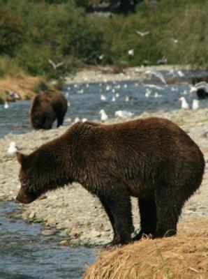 דוב גריזלי בנהר