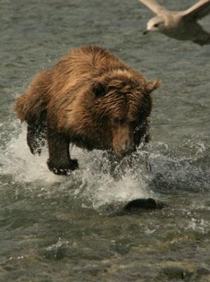 דוב גריזלי אורב לטרף