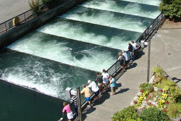 סלמונים מקפצים במעלה הנהר