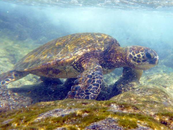 פואוהונואה או-הונאונאו (Pu'uhonua O Honaunau N.H.P), צבי ים בהוואי