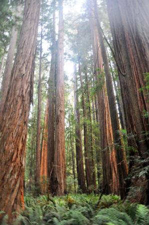 עץ גבוה בשמורת רדווד, קליפורניה