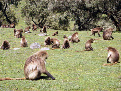 בבוני ז'לאדה בהרי סימיאן, אתיופיה