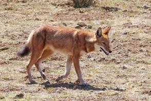 מגוון בעלי חיים בהרי סימיאן, אתיופיה