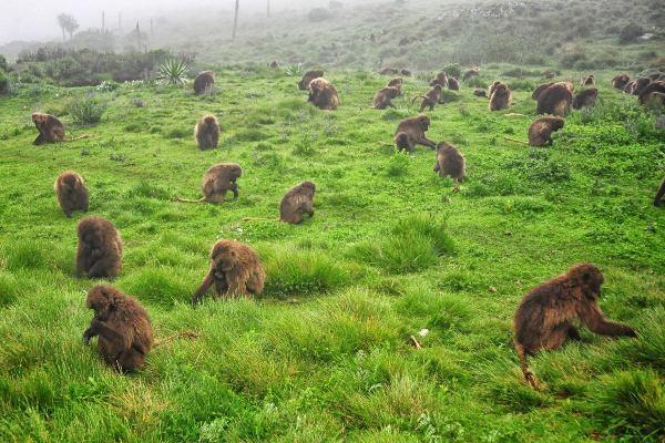 קופי ג'לאדה, הרי סימיאן, אתיופיה