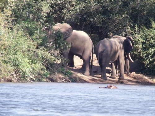 זמביה, מפלי ויקטוריה, פילים על נהר זמבזי