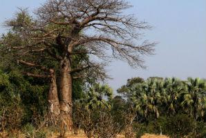 עץ הבאובאב, נהר הזמבזי
