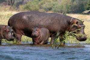 היפופטמים, נהר הזמבזי