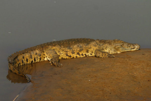 תנינים, נהר הזמבזי